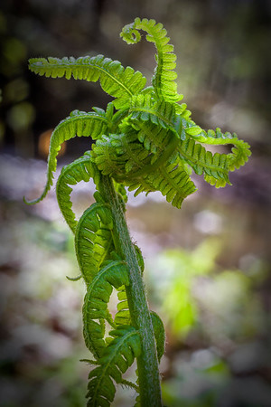 Fern Bud - Hocking Hills State Park-Ohio