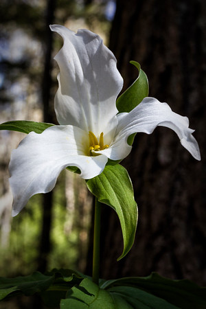 White Trillium - Hocking Hills State Park-Ohio