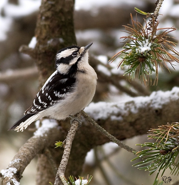 Jan 30th<br /> <br /> Downy Woodpecker