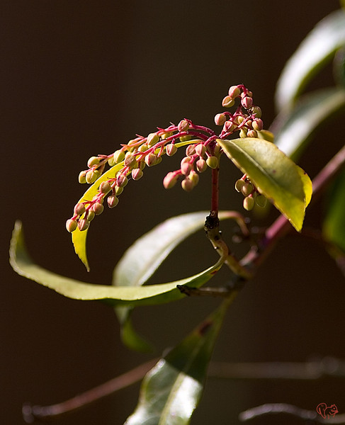 Jan 12th<br /> <br /> Pieris are always a bright spot in the winter landscape.