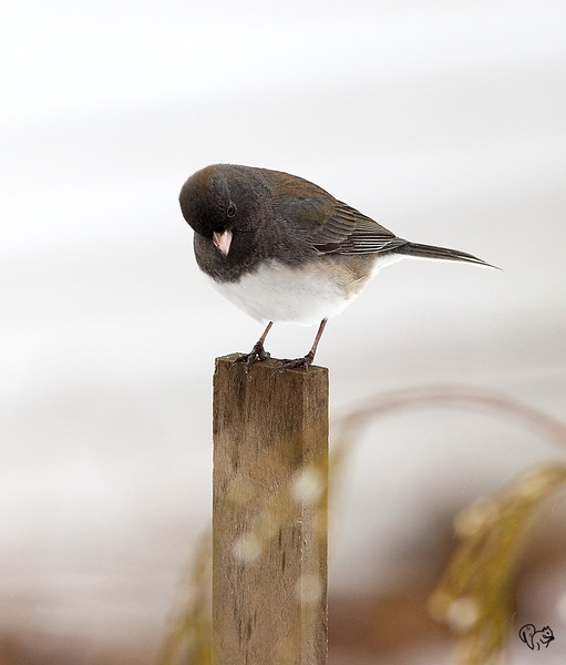 Jan 22nd<br /> <br /> These little Junco's have driven me nuts all summer. Finally starting to get some credible shots.