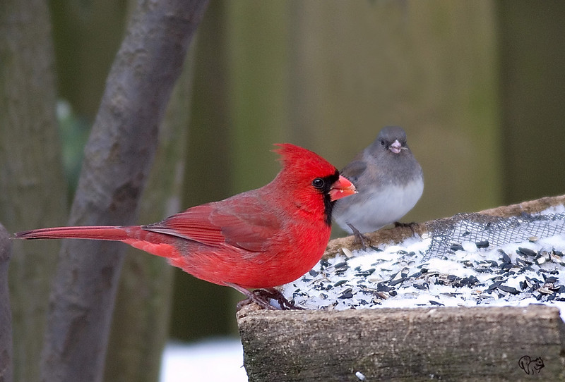 Feb 5th<br /> <br /> Not real crazy about bird feeder shots but was pretty happy with how the Cardinal turned out.