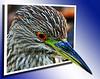 Juvenile Black Crowned Night Heron OOB