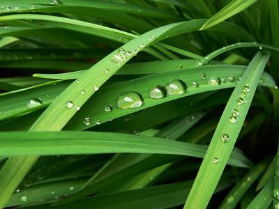 2013.05.12-Raindrops-on-Lilies