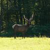 A young bull Elk grazing below Twin Peak in the Snoqualmie Valley, WA