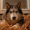 Cody dog on his pile of bedding straw.