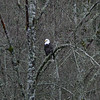 Big bald eagle hanging out behind the house in Duvall winter 2009.