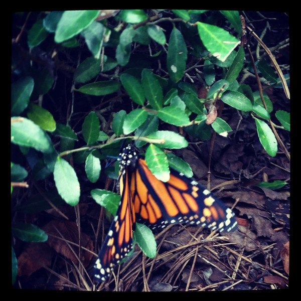 Butterfly <br /> Mom & Dad's house<br /> Orange Park, FL