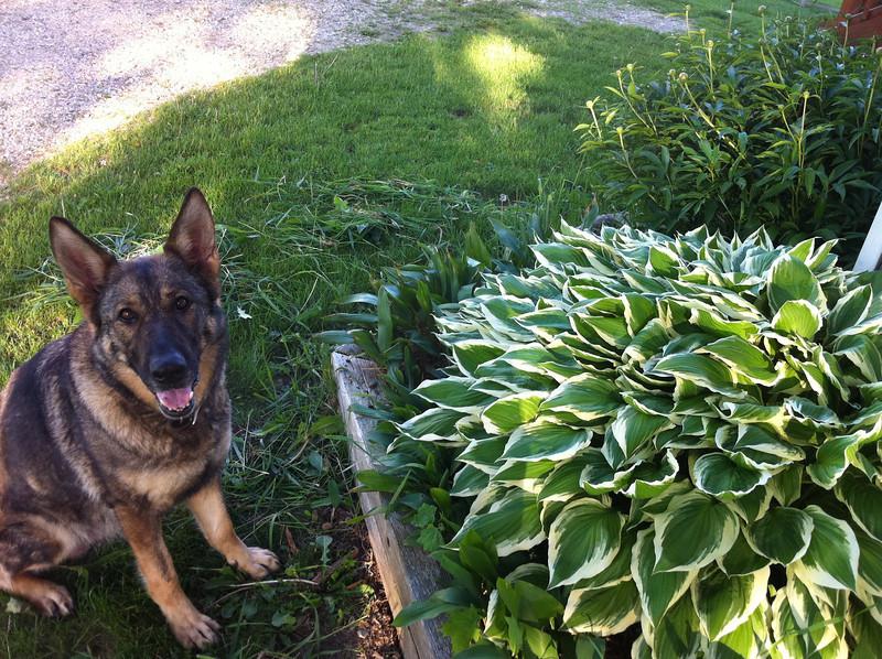 Hilde & the giant hosta :)