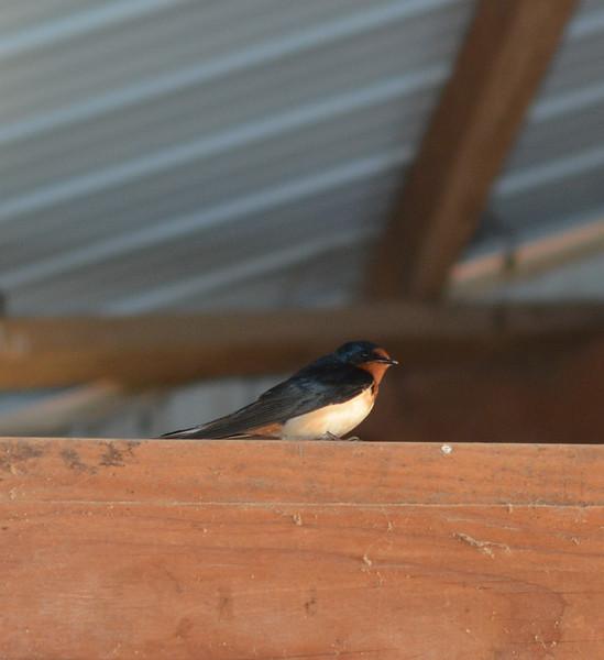 Barn swallow, May 2015
