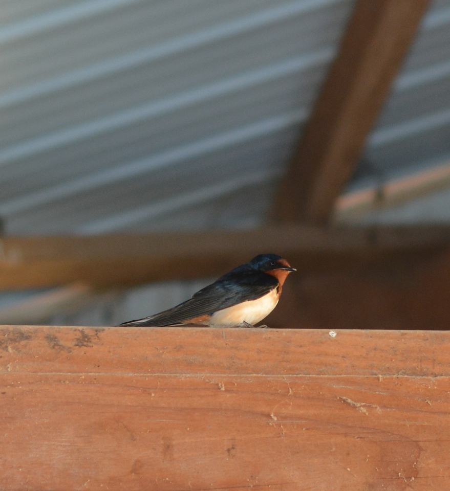 Barn swallow, May 2015