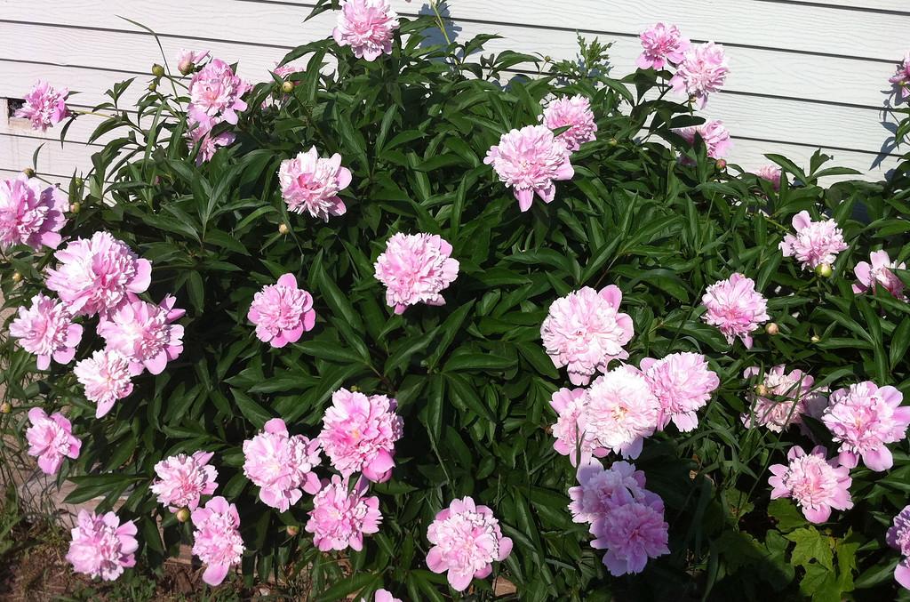 peonies, spring 2011