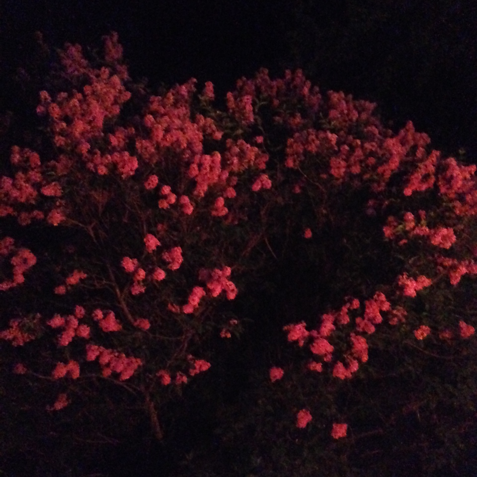 lilacs at night, 2014