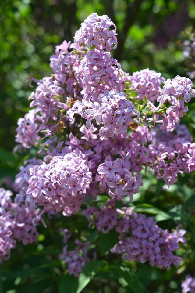 Lilacs, May 2015
