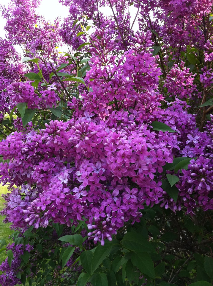 Lilacs in bloom<br /> <br /> may 2011