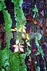 P1110324 Virginia Creeper on Mossy Tree procon, de