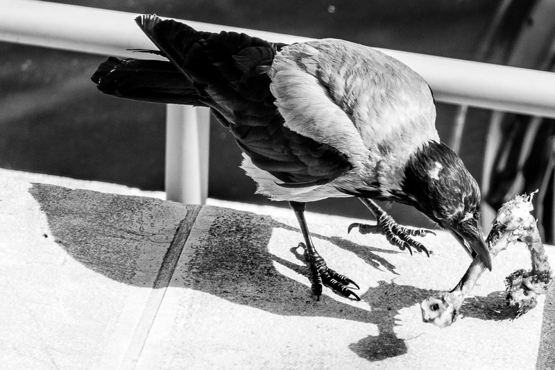 A hooded crow feeds on poultry bones.