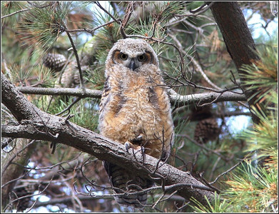 Great Horned Owlet, Apr'09