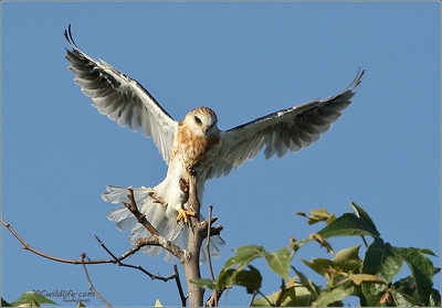 Young fledge trying to brave a lift off.