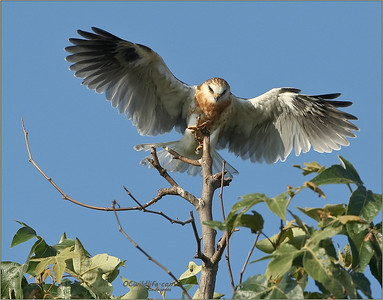 Lift off. Young Kite at the top of a tree trying to figure out how to get down to the nest to be fed.