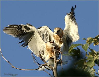 Kites just fledging, not too many soft landings yet!