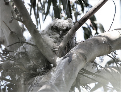 An early photo of one of the Great Horned owl babies. Just a limb ledge for a nest, two babies fell out and died. This one hung on, and so far is thriving. Mom is staying very close to him.