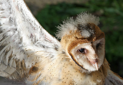 My favorite baby Barn Owl photo, cute do....lol