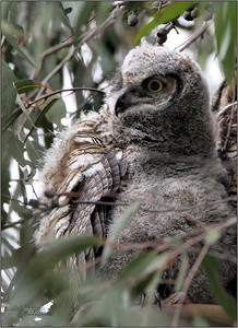 Great Horned Owl baby.