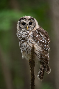 #1750 Barred Owlet