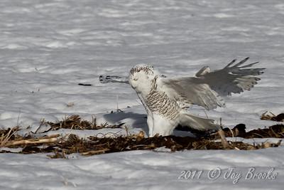 Snowy Owl  2011-27