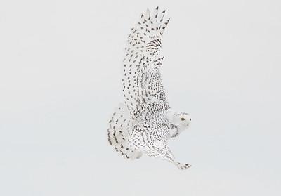 Snowy Owl take off.