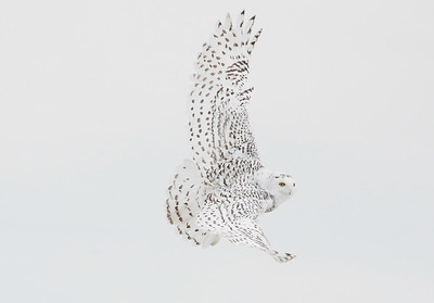 Snowy Owl take off.