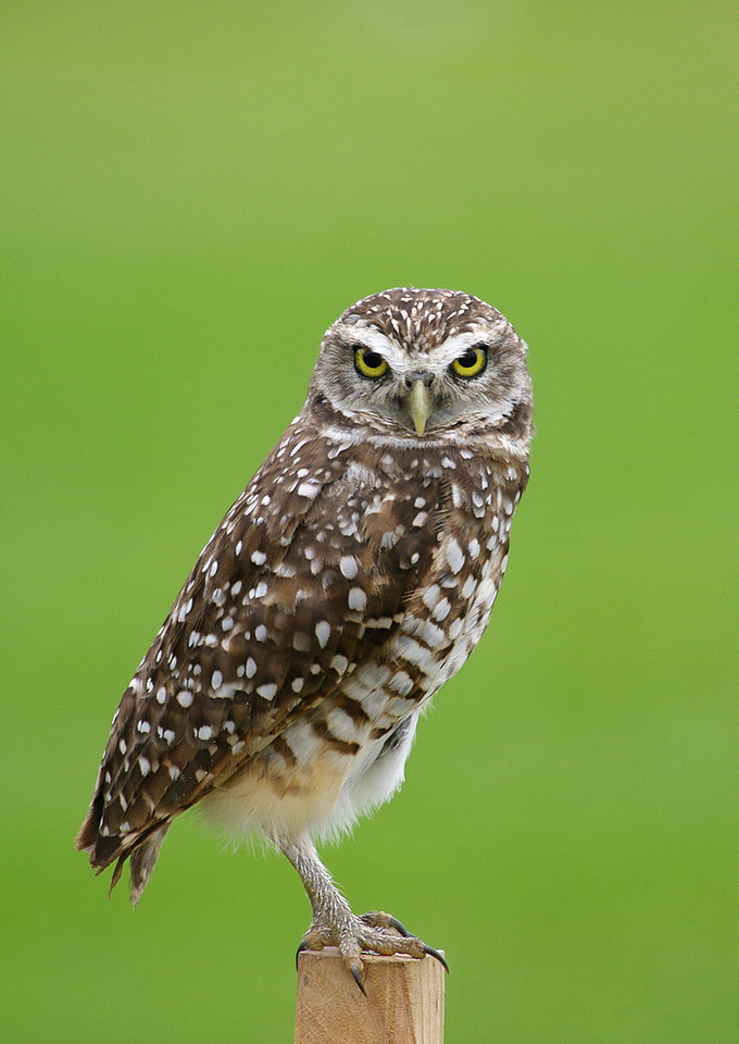 Burrowing Owl Cooper City, Florida