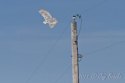 Snowy Owl  2011-19