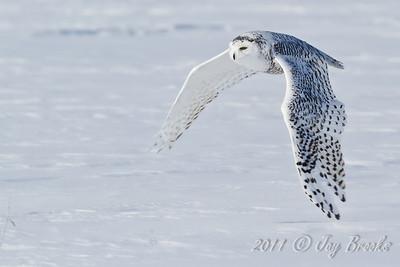 Snowy Owl  2011-13