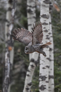#1358 Great Gray Owl