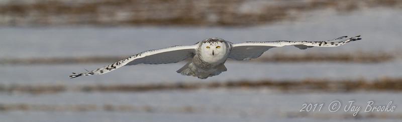 Snowy Owl  2011-32