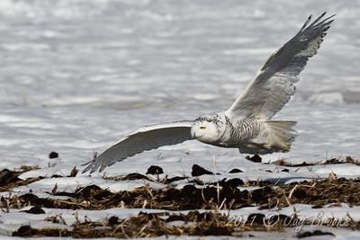 Snowy Owl  2011-22