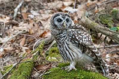 #757 Barred Owlet