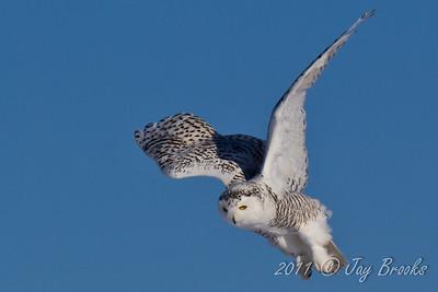 Snowy Owl  2011