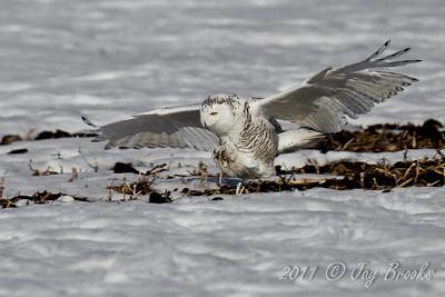 Snowy Owl  2011-23