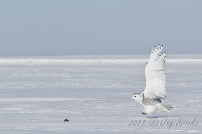 Snowy Owl  2011-12