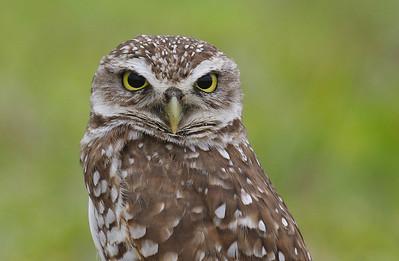 Burrowing Owl Brian Piccolo Park Cooper City, Florida