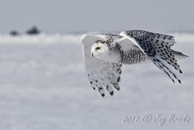 Snowy Owl  2011-17