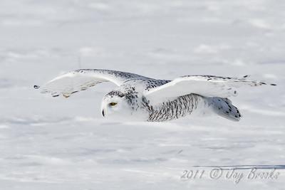 Snowy Owl  2011-14