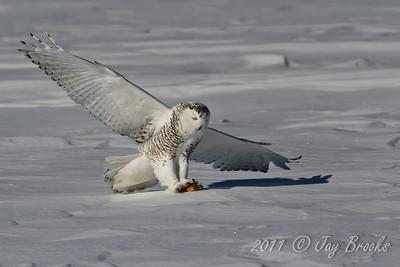 Snowy Owl  2011-8