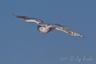 Snowy Owl  2011-6