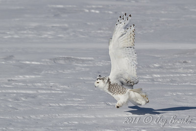 Snowy Owl  2011-11