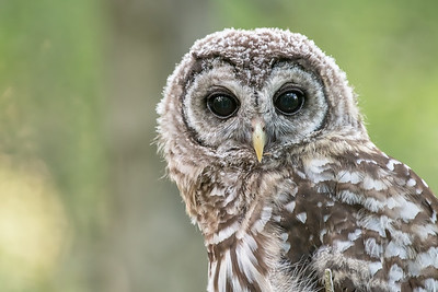 #778 Barred Owlet