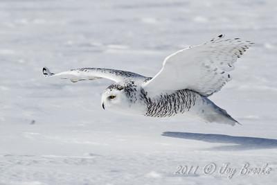 Snowy Owl  2011-15